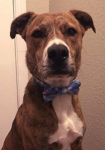 Murray the Rescue Dog in His Pastel Blue Bow Tie